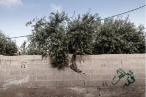 Le bulldozer et l'olivier